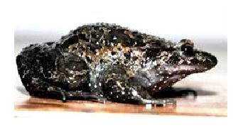 Hula painted frog - Photo Hebrew University