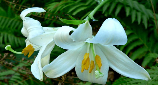 Madonna Lily - Photo courtesy  Wikimedia Commons/Stan Shebs